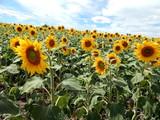 Field of sunflowers texture