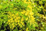 cytise en fleur - 206249468