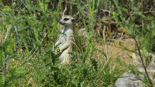mata magnetyczna Suricate is looking out behind the greenery in summer