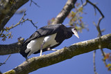 White-bellied Stork (Ciconia abdimii) on branch tree