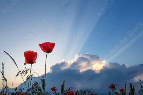 Plexiglas Klaprozen Beautiful field with poppies on sunset background and blue sky with clouds.