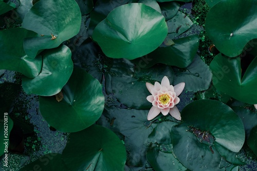 Foto Murales green natural background, leaves and pink water lily, empty copyspace, design pattern