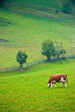 Italian red pied cow grazing - 206273036
