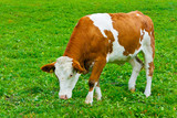 Italian red pied cow - 206273048
