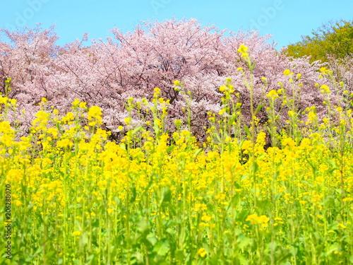 Plexiglas Geel 桜