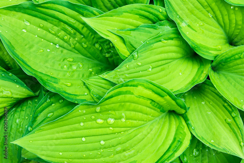 Leinwanddruck Bild Fresh Green Hosta Plant Leaves after Rain with Water Drops. Botanical Nature Background. Background Wallpaper Poster Template. Organic Cosmetics Wellness Spa Environment Protection. Copy Space