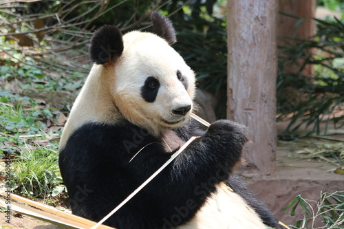 Closed-up Giant Panda Eats Bamboo, China