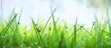 Fresh juicy young grass in droplets of morning dew and a ladybug in summer spring on a nature macro. Drops of water on the grass, natural wallpaper, panoramic view, soft focus. - 206315499