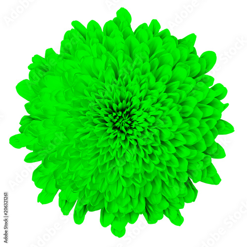 Flower green Chrysanthemum   isolated on white background. Flower bud close up.  Element of design. - 206321261