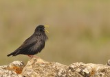 Spotless starling perched on a stone