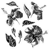 Hand drawn hibiscus leaves, flowers and buds - 206327297
