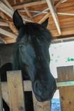 Pferd Araber Portrait schaut in kamera - 206330455