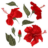 Hand drawn hibiscus leaves, flowers and buds - 206331243