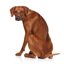 Rhodesian Ridgeback Dog Sticker