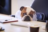 British Bulldog Dressed As Businessman Looking Sad At Desk - 206344089