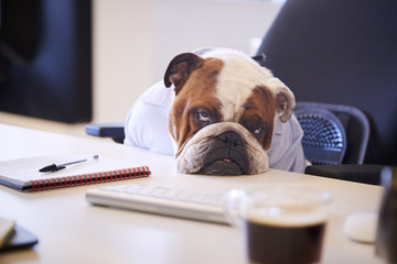 British Bulldog Dressed As Businessman Looking Sad At Desk