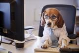Beagle Dressed As Businessman Works At Desk On Computer - 206344271