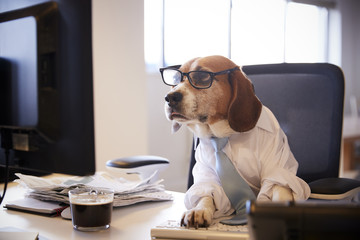 Beagle Dressed As Businessman Works At Desk On Computer © Monkey Business