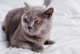 close up view of grey britain shorthair cat resting on bed - 206346888