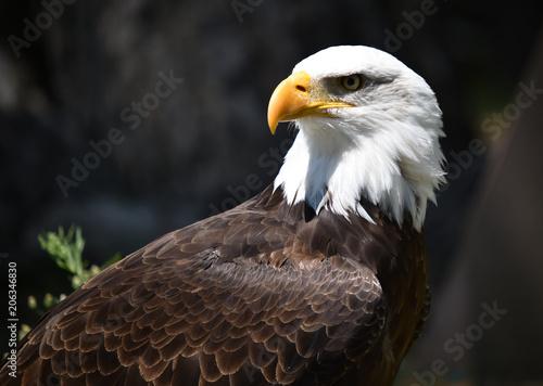 Canvas Eagle eagle white head