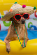 dog in hat and glasses in a bright inflatable pool, concept of vacation and tourism, close-up of shooting