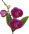 isolated dark purple orchid with three blooms