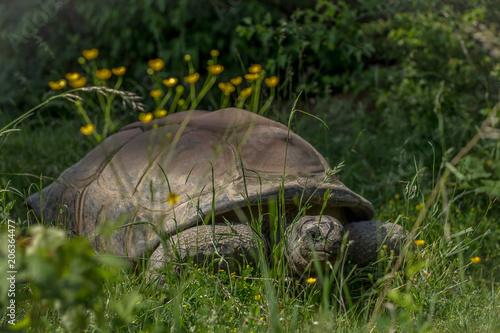 Aluminium Schildpad Turtle in Nature, Europe