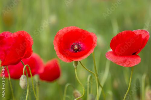 Plexiglas Klaprozen Beautiful Poppy Flowers Bloom On Spring Field