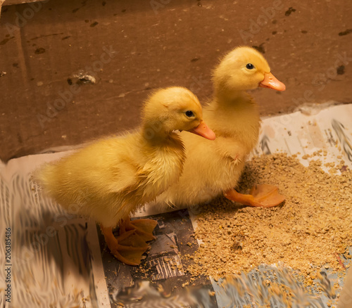 Two baby ducks at four days old in a box   Buy Photos   AP Images ...