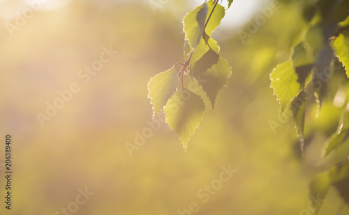 Aluminium Berkenbos Beautiful birch tree leaves against the sunset in Finland. Fresh tree leaves. Copy space.