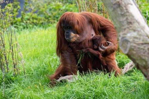 mata magnetyczna orangutan