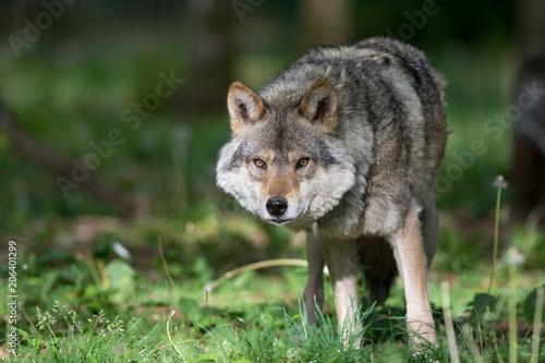 Fototapeta Loup gris dans la forêt