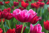 Beautiful pink tulips flower - 206404047