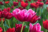 Beautiful pink tulips flower - 206404047