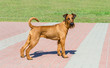 Irish Terrier looks in camera.  The Irish Terrier stands in city park. - 206410482