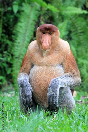 Fotobehang Aap Proboscis Monkey