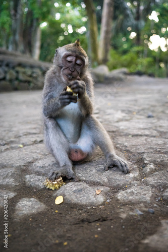 Plexiglas Bali Young balinese long tailed monkey (macaca fascicularis) sitting on the ground eating in the sacred monkey forest in Ubud, Bali, Indonesia (09.05.2018)