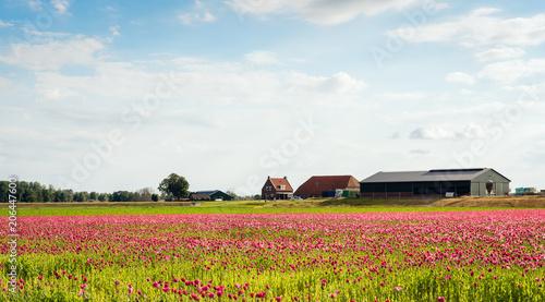 Poppy cultivation in a Dutch polder