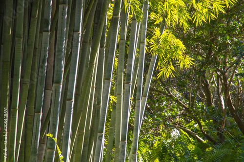 Fotobehang Bamboe Bamboo trunks. Green leaves are lit by the sun, background.