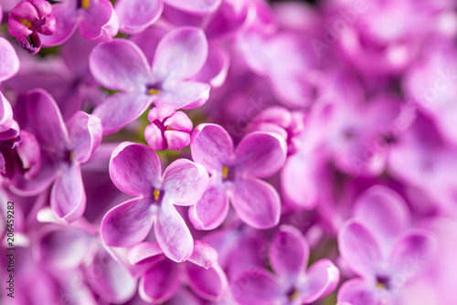 Pink Lilac Flowers - 206459282