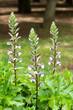 白いアカンサスの花
