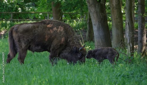 Fotobehang Bison European Bison - Wisent with calf