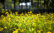 Dandelions on a blurred background with leaves on a meadow
