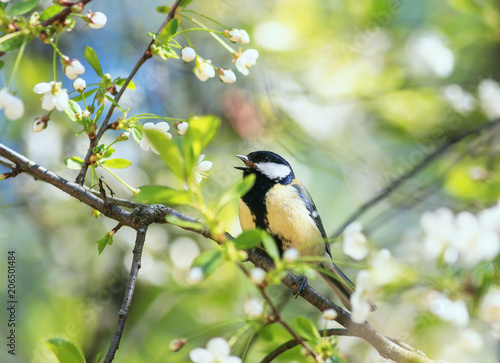 Fotobehang Natuur cute bird tit sings a beautiful song in spring garden on branch in may flowers