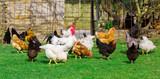Gallinas en una granja vasca - 206507819