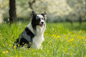 Border Collie im Kirschgarten