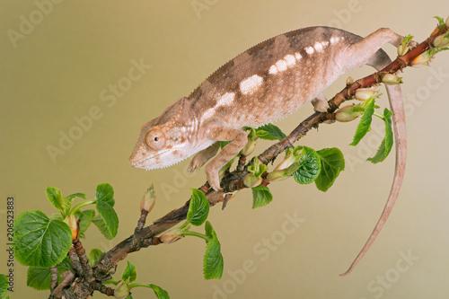 Fototapeta Panther Chameleon (Furcifer pardalis)/Diego Suarez region Panther Chameleon climbing a tree branch