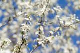 Beautiful cherry blossom sakura in spring time over sky - 206529847