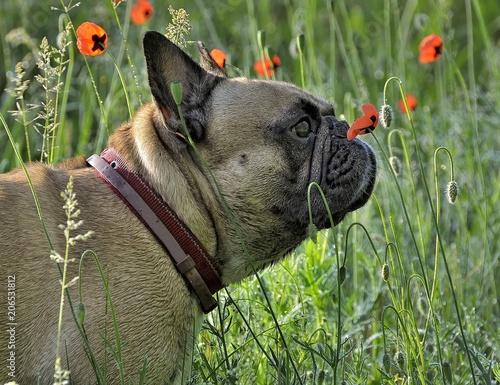 Aluminium Klaprozen French bulldog try smell of poppy of the meadows of Ukraine