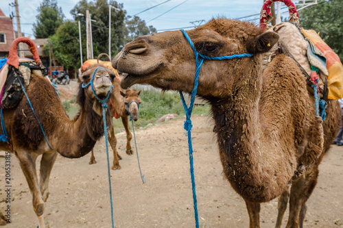 Canvas Kameel camels in they natural environment during day time, Morocco